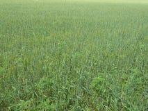 Зеленая предпосылка выгона трав Стоковые Изображения