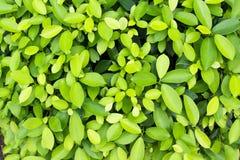 Зеленая предпосылка лист Стоковое Изображение