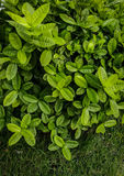 Зеленая предпосылка куста Стоковое Фото