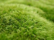 Зеленая предпосылка макроса мха Стоковые Фото