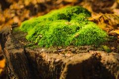 Зеленая предпосылка мха, мшистая текстура Стоковые Фото