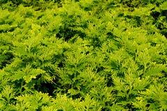 Зеленая предпосылка папоротника Стоковые Фото