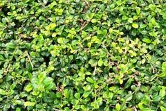Зеленая предпосылка с зелеными листьями Стоковые Изображения