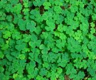 Зеленая предпосылка с 3-leaved shamrocks Стоковое Изображение