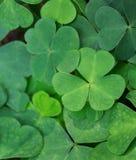 Зеленая предпосылка с 3-leaved shamrocks Стоковые Изображения