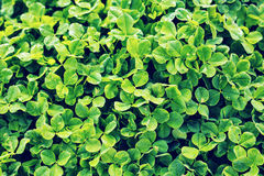 Зеленая предпосылка с 3-leaved shamrocks Стоковые Фото