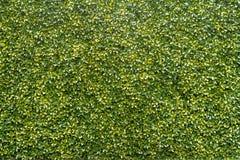 Зеленая предпосылка текстуры дерева Стоковая Фотография