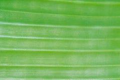 Зеленая предпосылка текстуры лист банана Стоковые Изображения