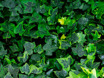 Зеленая предпосылка текстуры лист/текстуры лист/космос экземпляра Стоковые Фото