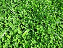 Зеленая предпосылка фото макроса дня ` s St. Patrick завода травы клевера Стоковая Фотография RF
