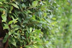Зеленая природа вдоль загородки, фокус на молодой стороне зеленого растения соперничает Стоковые Изображения RF