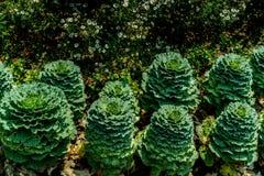 Зеленая причудливая капуста Стоковые Фото