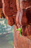 Зеленая птица попугая на стене форта Агры - Агре, Индии Стоковые Фото