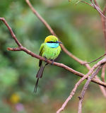 Зеленая птица Пчел-едока на ветви Стоковое Изображение