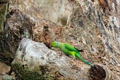 Зеленая птица сидя на стволе дерева с отверстием гнезда Длиннохвостый попугай гнездиться Роза-окружённый, krameri ожерелового поп Стоковое Изображение