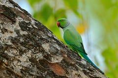 Зеленая птица сидя на стволе дерева с отверстием гнезда Длиннохвостый попугай гнездиться Роза-окружённый, krameri ожерелового поп Стоковое фото RF