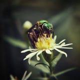 Зеленая пчела Стоковое Изображение