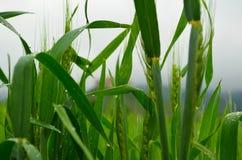 Зеленая пшеница в поле Стоковое Изображение