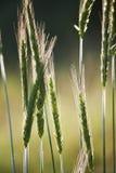 Зеленая пшеница в поле Стоковое фото RF
