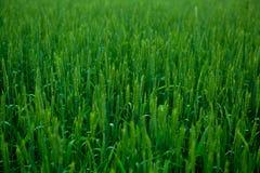 Зеленая пшеница в поле Стоковое Фото
