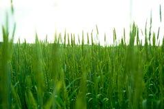 Зеленая пшеница в поле Стоковая Фотография RF