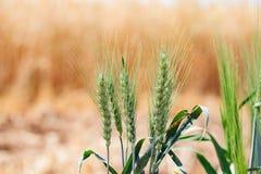 Зеленая пшеница в пшеничном поле Стоковая Фотография RF