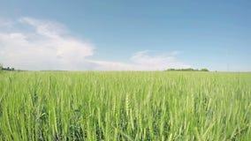 Зеленая пшеница под солнцем лета акции видеоматериалы