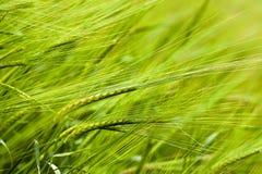 Зеленая пшеница Стоковое Изображение RF