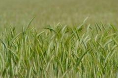 зеленая пшеница Стоковое фото RF