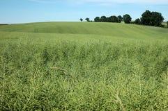 зеленая пшеница Стоковая Фотография RF