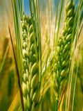 Зеленая пшеница II шипа стоковые фото