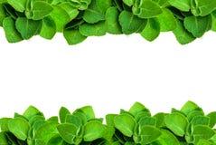 Зеленая рамка мяты лист изолированная на белой предпосылке с космосом экземпляра для текста Стоковое фото RF