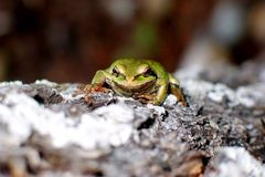 Зеленая древесная лягушка на вечнозеленой расшиве Стоковое Изображение