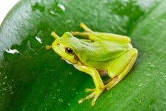 Зеленая древесная лягушка на лист Стоковая Фотография RF