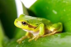 Зеленая древесная лягушка на лист Стоковое Фото