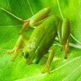 Зеленая древесная лягушка на лист Стоковое Изображение RF