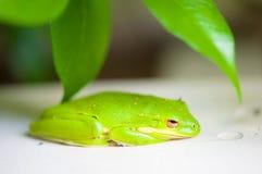 Зеленая древесная лягушка Стоковая Фотография