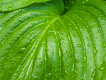 Зеленая роса весны выходит предпосылка Стоковые Фотографии RF