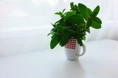 Зеленая свежая мята в чашке Стоковые Фотографии RF
