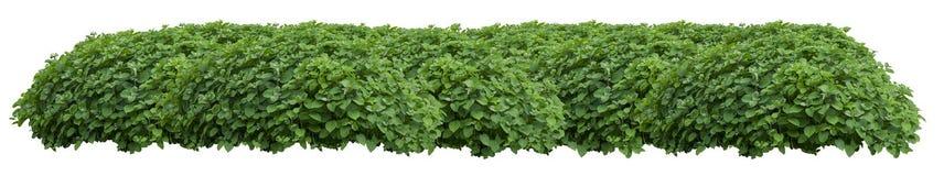 Зеленая свежая орнаментальная одичалая изгородь изолированная на белом ба стоковое фото rf
