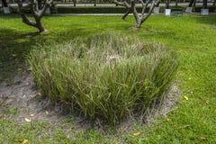 Зеленая свежая трава vetiver Стоковые Изображения RF