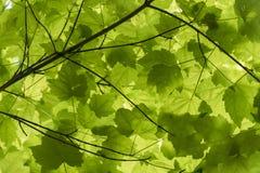 Зеленая сень кленового листа стоковые изображения rf