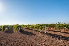 Зеленая сельская местность виноградника Стоковая Фотография RF