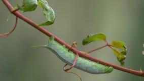 Зеленая смертная казнь через повешение гусеницы Hornworm от лозы дуя в ветерке, 4K видеоматериал