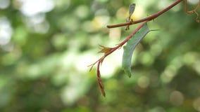 Зеленая смертная казнь через повешение гусеницы Hornworm от лозы, 4K видеоматериал