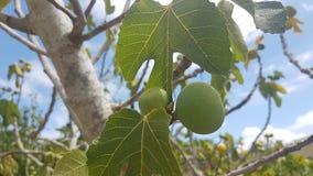 Зеленая смоква Стоковые Фотографии RF