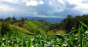 Зеленая совместная плантация и голубое небо Стоковое Изображение RF
