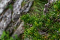 зеленая сосенка игл Стоковое фото RF