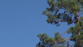 Зеленая сосна разветвляет на предпосылке голубого неба сток-видео