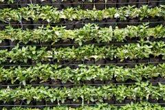 Зеленая стена завода roseus Catharanthus в саде природы Стоковые Фотографии RF